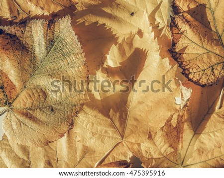 Vintage faded Yellow tree leaves in autumn useful as a background