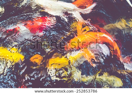 Vintage filter : Koi fish in pond,colorful natural background,Faded color - stock photo