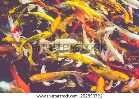 Aquatic colors fishes japanese koi stock photos images for Colorful pond fish