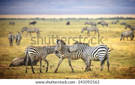 Vintage filtered look from a safari in Africa showing a herd of zebra's - stock photo