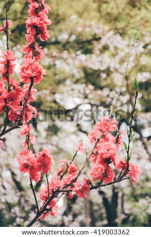 Vintage Flowers Sakura - soft focus - stock photo