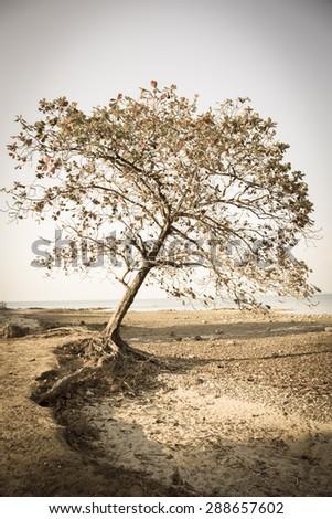 Vintage image of Indian almond tree on sea coastal   - stock photo