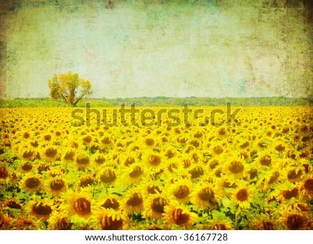 vintage image of sunflower field - stock photo