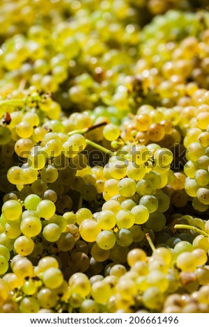 vintage in a vineyard winemaker. vineyard in autumn. ripe grapes are harvested. - stock photo