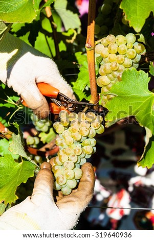 vintage in the vineyard of a winemaker. weingarten in autumn. ripe grapes are harvested. - stock photo
