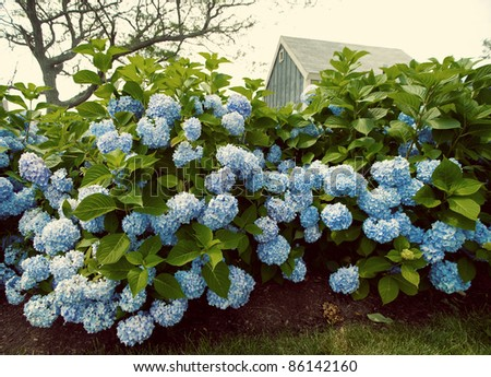 Vintage look with hydrangea flowers with a small blue cottage in the background. - stock photo