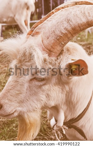 Vintage looking The domestic goat aka Capra aegagrus hircus is a subspecies domesticated from the wild goat