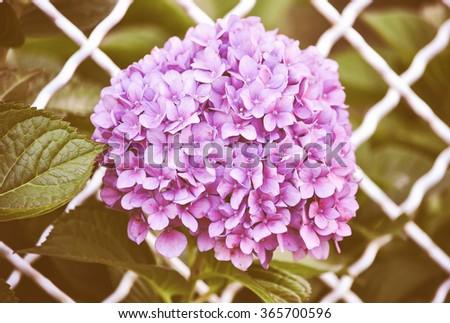 Vintage looking Violet flowers of Hydrangea Hortensia Ajisai plant over garden fence - stock photo