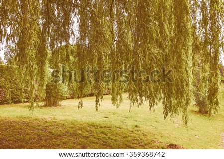 Vintage looking Weeping Willow ornamental tree aka Salix babylonica or Babylon willow
