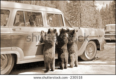 Vintage photo of bear cub looking into a tourist car in Yellowstone National Park - stock photo