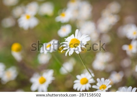 Vintage photo of beautiful chamomiles flowers growing and blooming in nature. Macro shoot. - stock photo