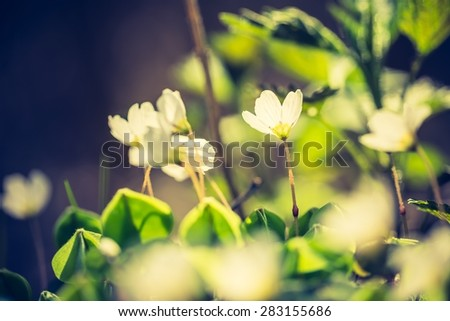 Vintage photo of beautiful small flowers of wood sorrel blooming in early springtime in forests. - stock photo