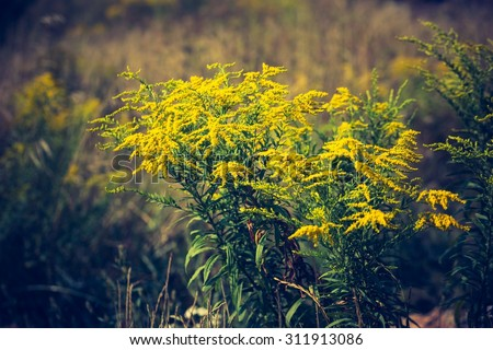 Vintage photo of beautiful yellow goldenrod flowers blooming. Beautiful flowers of autumn. - stock photo