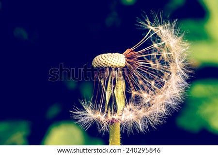 Vintage Photo Of Dandelion Close Up - stock photo