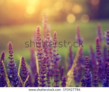 Vintage photo of lavender wild flowers in sunset - stock photo