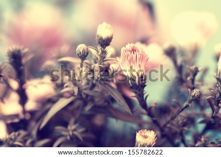 vintage photo of lovely pink aster's buds - stock photo