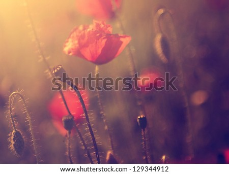 Vintage photo of poppies in sunset - stock photo