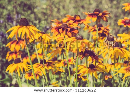Vintage photo of rudbeckia flowers in the summer garden. Sepia effect. Summer flowers background with selective focus. - stock photo