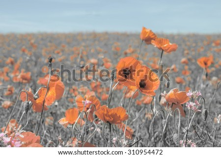 Vintage photo of summer landscape with wild poppy flowers. - stock photo