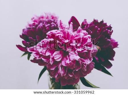 Vintage photo of the pink dahlia on the white background - stock photo