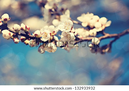 Vintage photo of white apricot tree flowers in spring