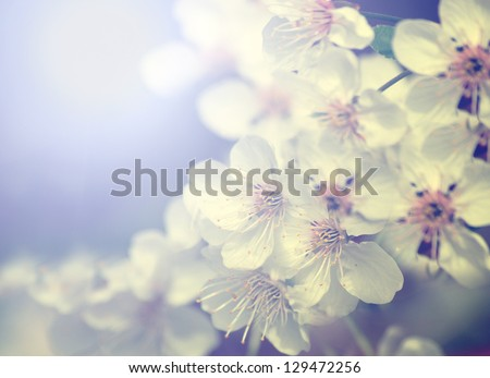 Vintage photo of white cherry tree flower in spring - stock photo