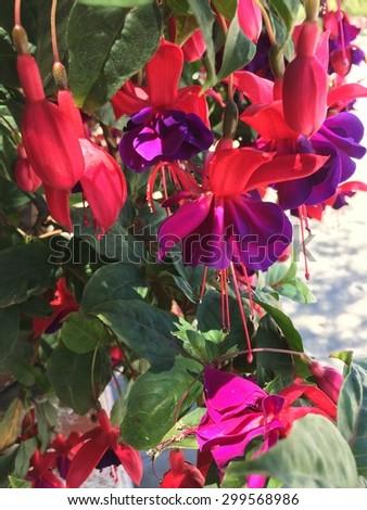 vintage pink and purple fuchsia.  - stock photo