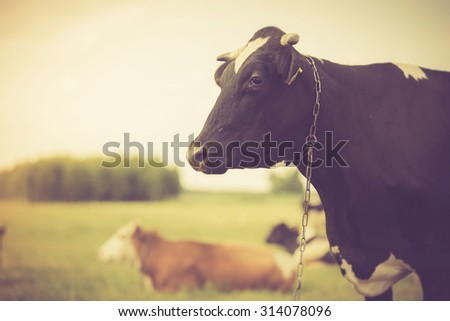 Vintage portrait of cow on pasture. Animal face photo photographed in outdoor - stock photo
