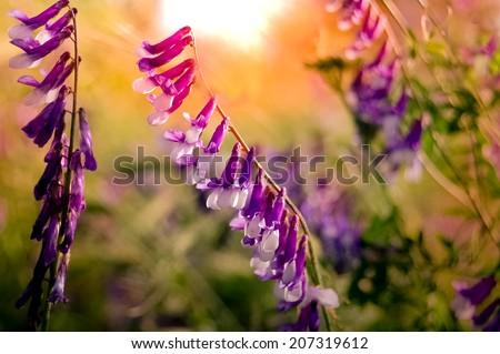 vintage purple wild flower close up  - stock photo
