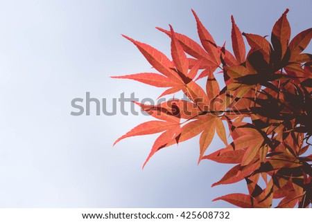 Vintage Red Momiji Maple background by selective focus and soft tone - stock photo
