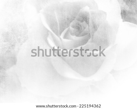 Vintage rose - white flower background - stock photo