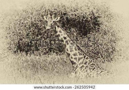 Vintage style black and white image of a Giraffe in Tarangire National Park, Tanzania - stock photo