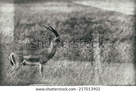 Vintage style black and white image of a Grant's Gazelle in the Serengeti National Park, Tanzania - stock photo