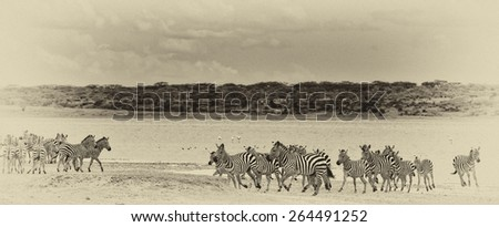 Vintage style black and white image of a group of zebras at Lake Ndutu in the Serengeti National Park, Tanzania - stock photo