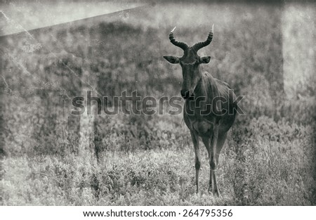Vintage style black and white image of a Hartebeest antelope in the Serengeti National Park, Tanzania - stock photo