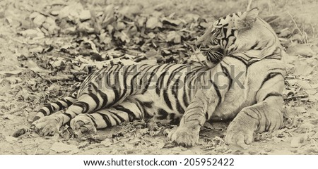 Vintage style black and white image of a large male Bengal tiger in Bandhavgarh National Park, India - stock photo
