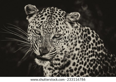 Vintage style black and white image of a Leopard in the Okavango Delta, Botswana - stock photo