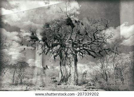 Vintage style black and white image of an African baobab tree in Kruger National Park, South Africa - stock photo