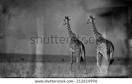 Vintage style black and white image of giraffes on the Masai Mara National Reserve - Kenya - stock photo