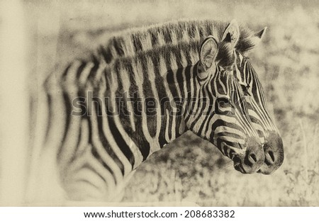 Vintage style black and white image of Zebras in the Maasai Mara National Park, Kenya