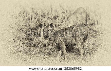 Vintage style image of a female Sambar deer (Rusa unicolor, also called Philippine or Rusa deer), Bandhavgarh National Park, India
