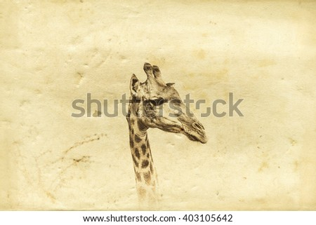 Vintage style image of a giraffe, Kruger National Park, South Africa - stock photo