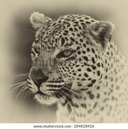 Vintage style image of a Leopard in the Okavango Delta, Botswana - stock photo