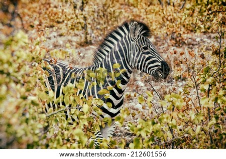 Vintage style image of a Zebra in Kruger National Park, South Africa - stock photo