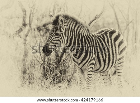 Vintage style image of a Zebra in the Okavango Delta, Botswana - stock photo