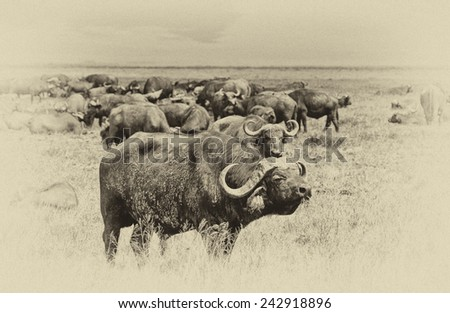Vintage style image of an African Buffalo herd in the Ngorongoro Crater, Tanzania - stock photo