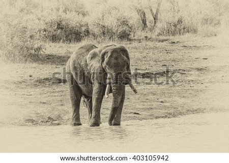 Vintage style image of an African Elephant, Kruger National Park, South Africa - stock photo