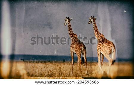 Vintage style image of giraffes on the Masai Mara National Reserve - Kenya - stock photo