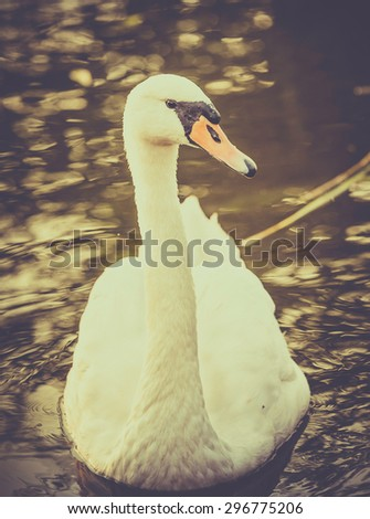 Vintage style mute swan floating on water - stock photo