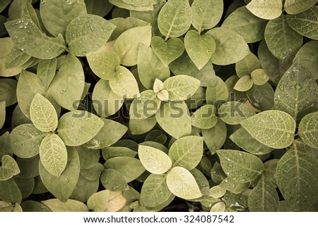 vintage style sepia color tone. Rain drops on fresh green leaves.Green background with leaves. - stock photo